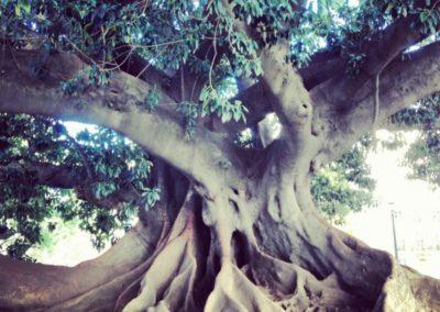 Argentina Tree